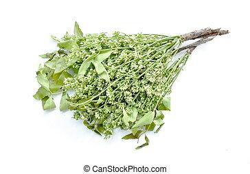 Verdura india siamés neem en fondo blanco