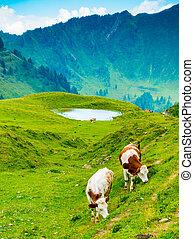 vertical, pasto, losa, vacas, casera, vista