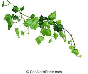 Viña Ivy