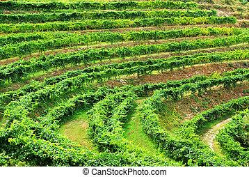 Viñedo de vino alvarino, minho, portugal.