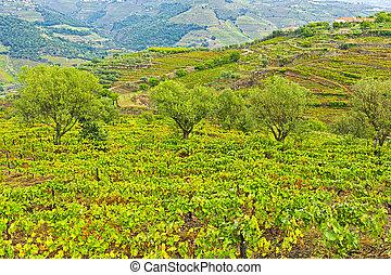 Viñedos y olivos