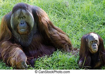 Vida salvaje y animales - orangután