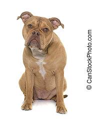 Viejo bulldog inglés
