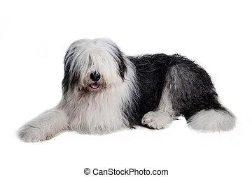 Viejo perro pastor inglés