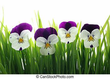 Viola tricolor en verde hierba