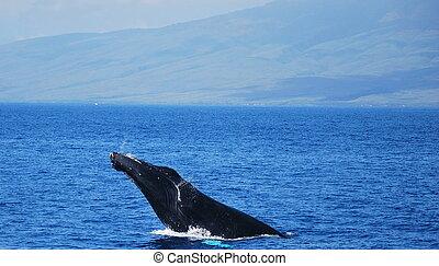 Violación de ballena jorobada