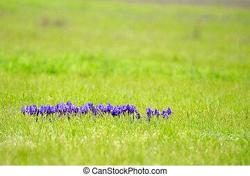 Violeta iris salvaje