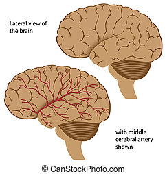 vista, cerebro, lateral