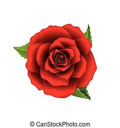 Vista de la flor roja de rosa aislada en vector blanco