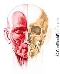 Vista frontal de la cabeza humana masculina, con medio músculo y medio cráneo. De fondo blanco. Imagen de anatomía, estilo pintado a mano. Pasillo incluido.