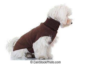 Vista lateral de un cachorro bichón sentado usando ropa marrón