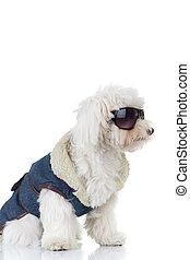 Vista lateral de un cachorro bichón usando ropa y gafas de sol
