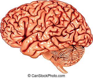 Vista lateral del cerebro humano