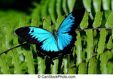 vista, ulises, mariposa, swallowtail, sobre