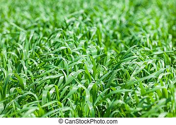 vistas, agricultura, trigo, joven, campo, verde