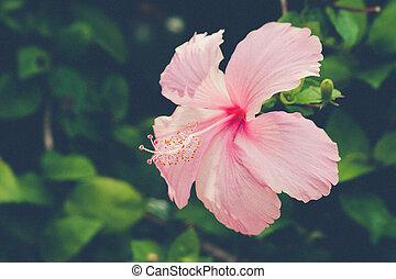 Vivid hibicus rosa está floreciendo