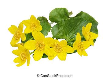 wildflower, botón de oro