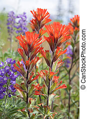 wildflowers, indio, primer plano, rojo, brocha