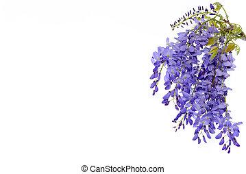 Wisteria flores elemento de diseño floral.