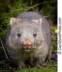 wombat, bebé, nosed, descubierto