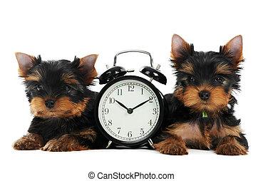 Yorkshire Terrier cachorro con despertador