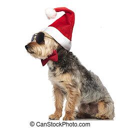 Yorkshire terrier llevando sombrero de Santa Claus y gafas de sol