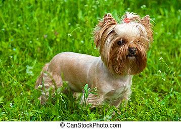 Yorkshire terrier sobre hierba verde