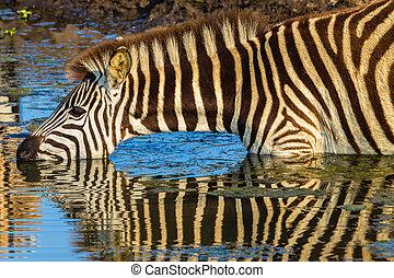 Zebra bebe reflejos de agua