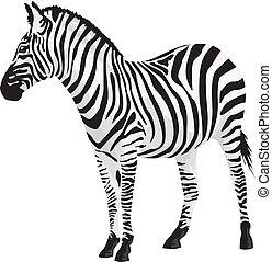 zebra., vector, illustration.