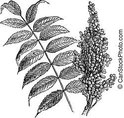 zumaque, vendimia, liso, (rhus, glabra), engraving.